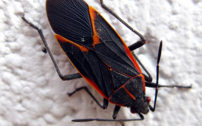 Boxelder Bug Removal & Control