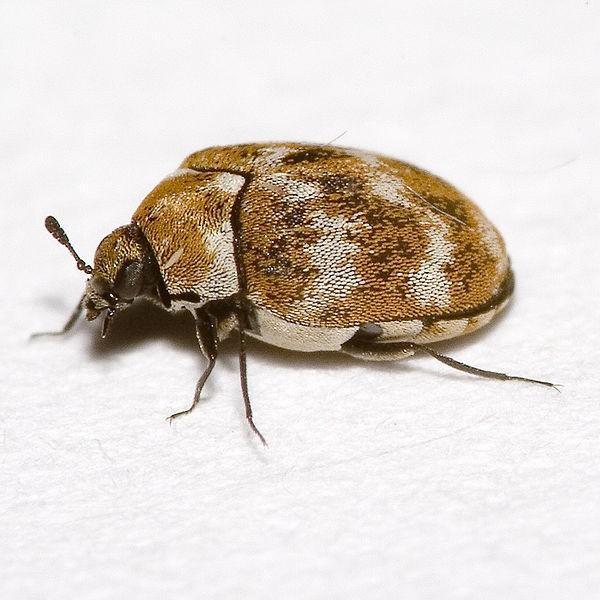Carpet Beetle Removal U0026 Treatment