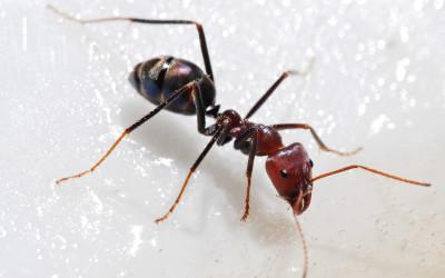 Sugar Ant Removal & Control