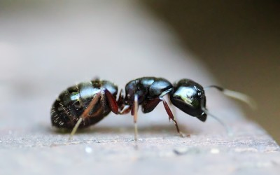 Carpenter Ants Removal & Control
