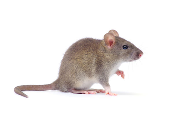 How To Avoid Rats At Home Naturally